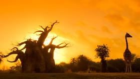 Kilamanjaro Safari