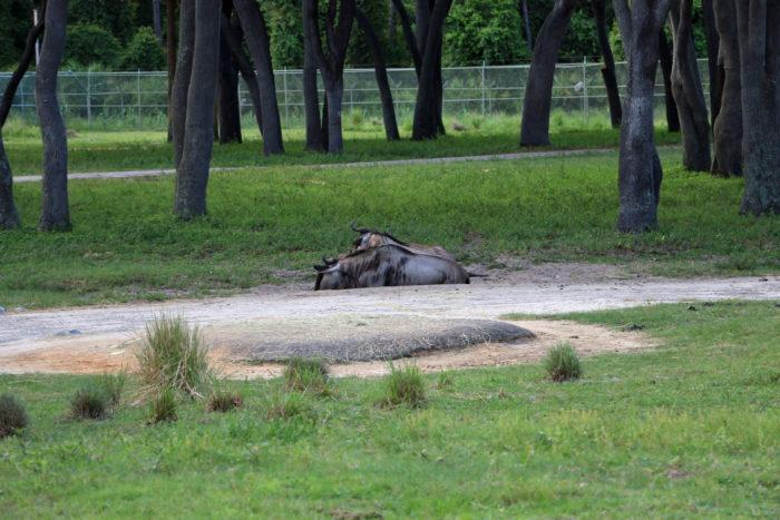 animal kingdom lodge savanna animals