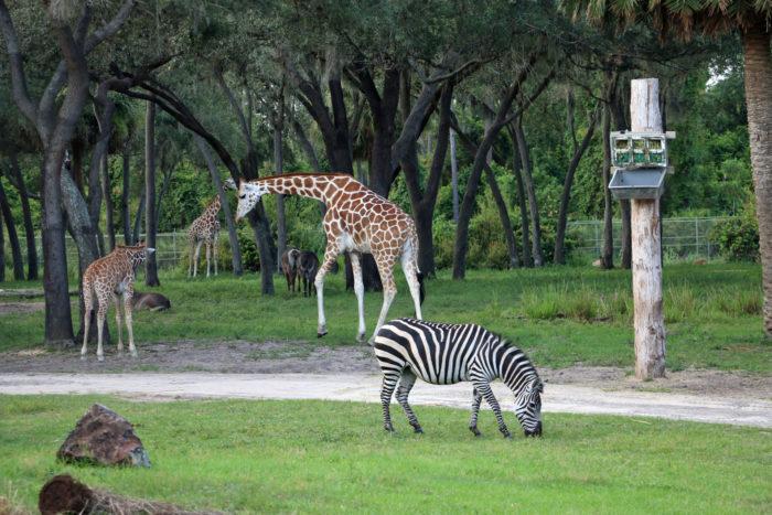 Animal Kingdom Lodge Uzima Savanna animals